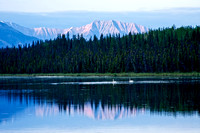 Swans at Dusk in Alaska's Wrangell St. Elias National Park and Preserve